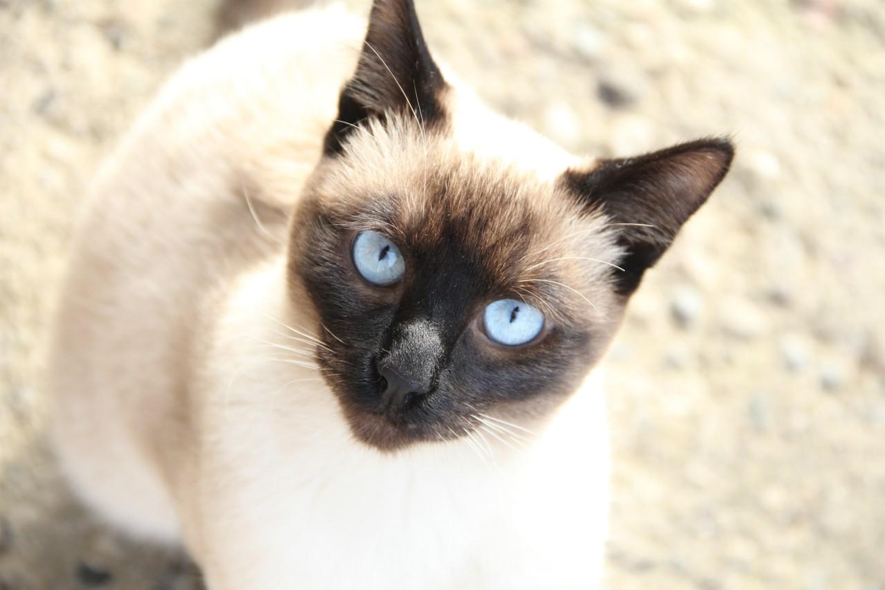 sijamska-mačka-moj-ljubimac-redakcija