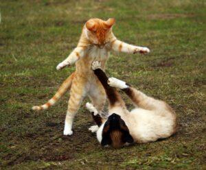 sijamska-mačka-mačke-igra