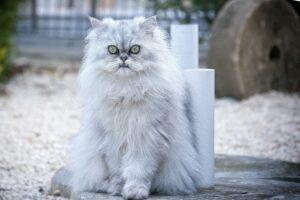 persijska-mačka