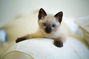 sijamska-mačka