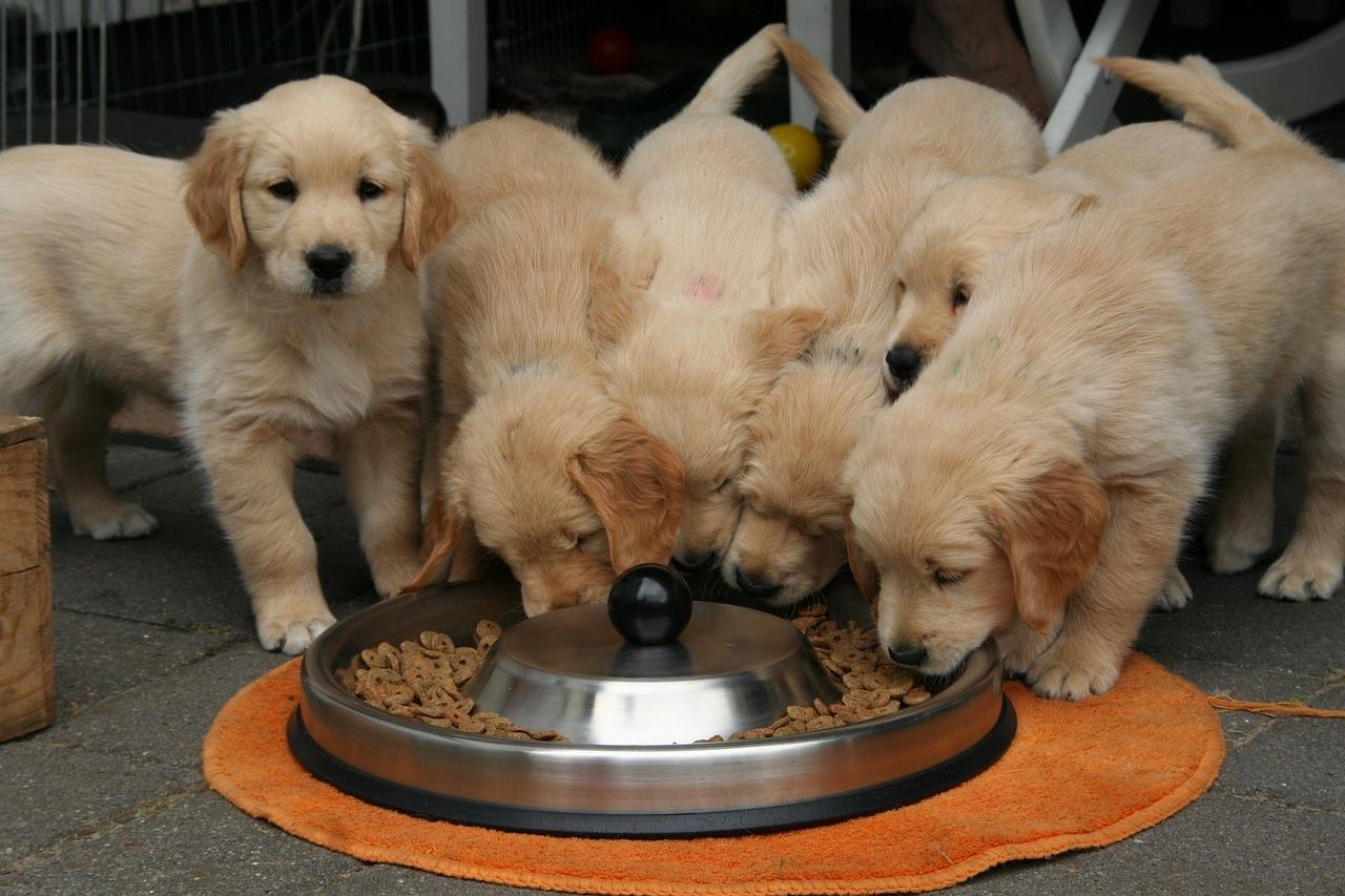 zlatni-retriveri-štene-hrana