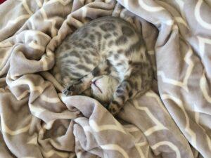 bengalska-mačka