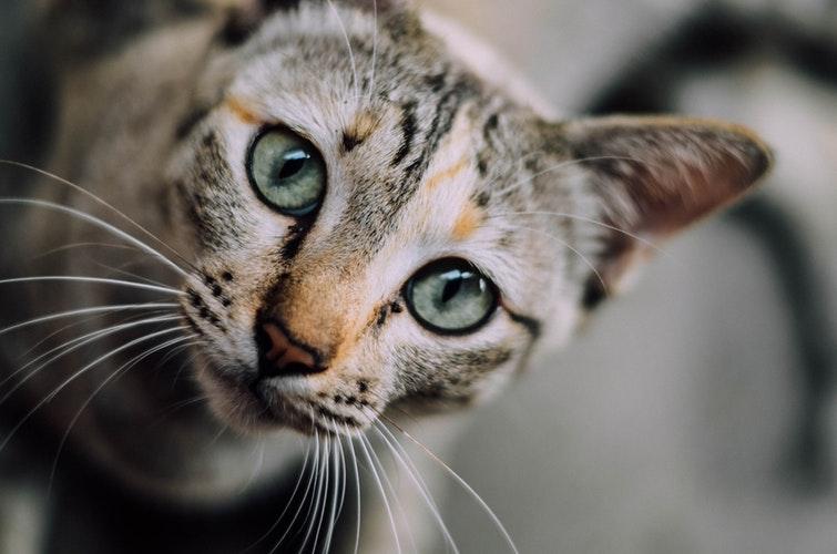 mačka-oči
