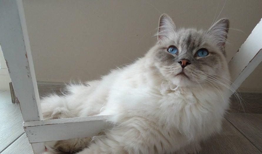 mačka-ragdol