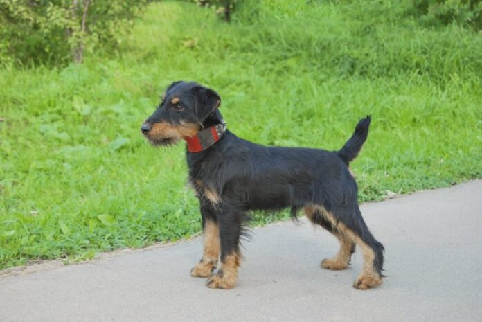 nemački-lovni-terijer-pas