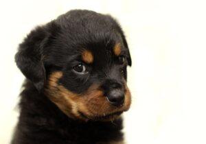 rotvajler-pas-štene