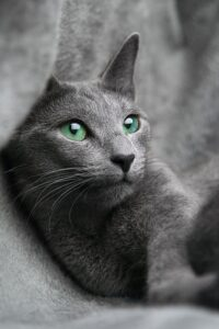 ruska-plava-mačka