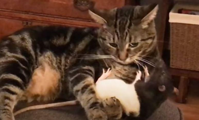 mačka-pacov-igra
