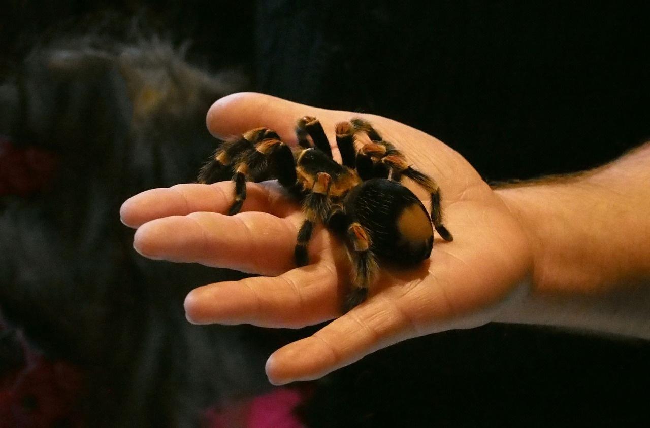tarantula-pauk