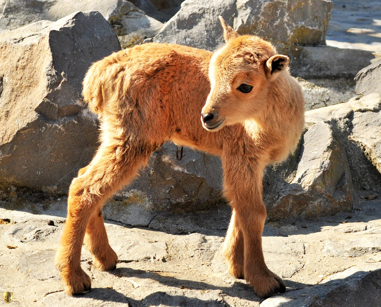 berberska-ovca-mladunče-zoo-vrt