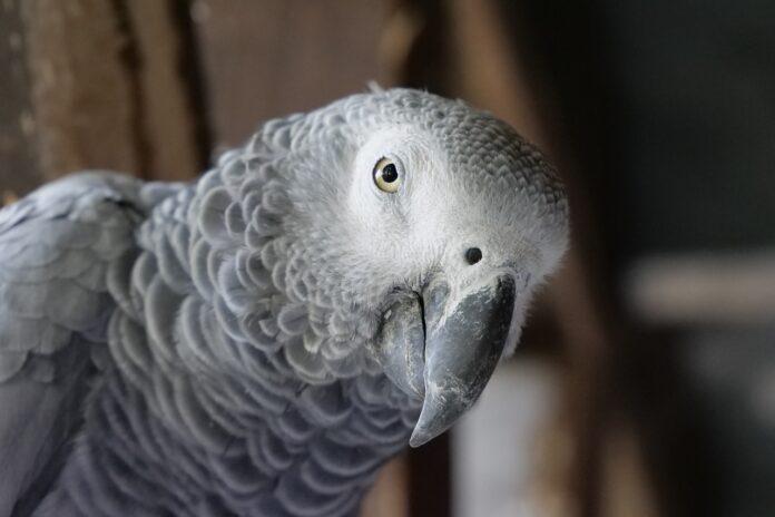 afrički-sivi-papagaj