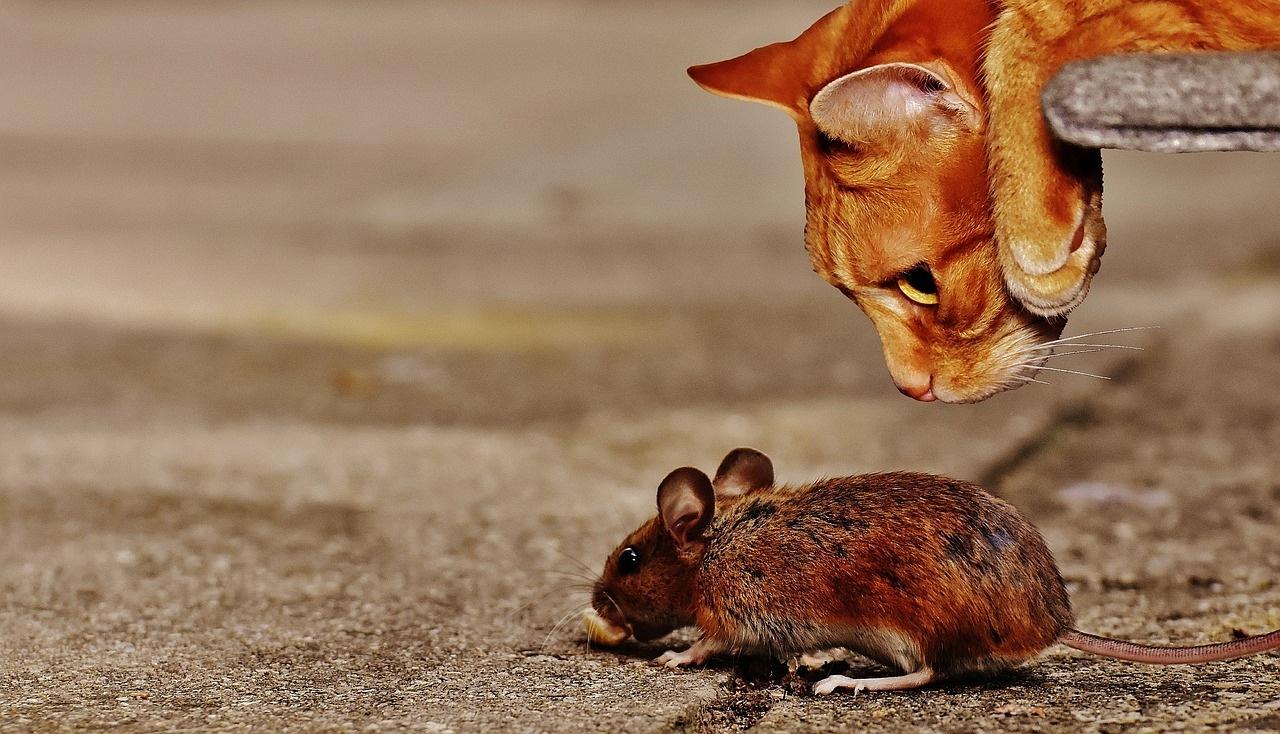 mačka-miš