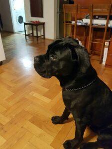 cane-corso1