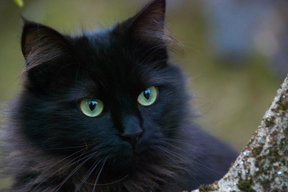 crna-mačka