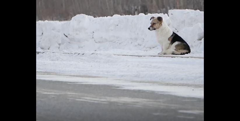 hačiko-rusija-pas-zima-sneg