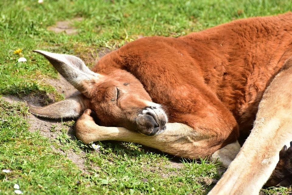 kengur-životinje-emocije