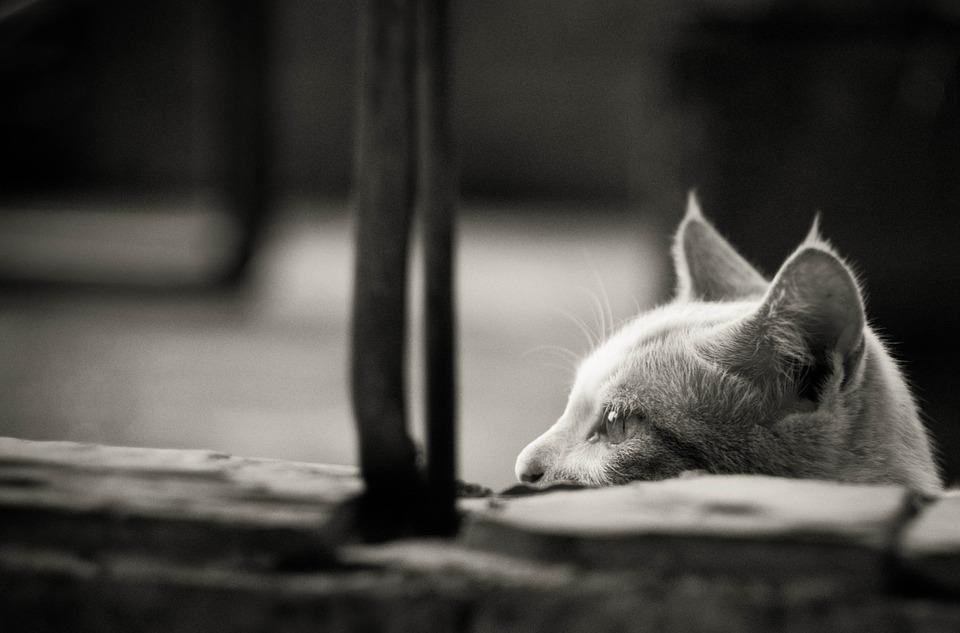 mačka-uši
