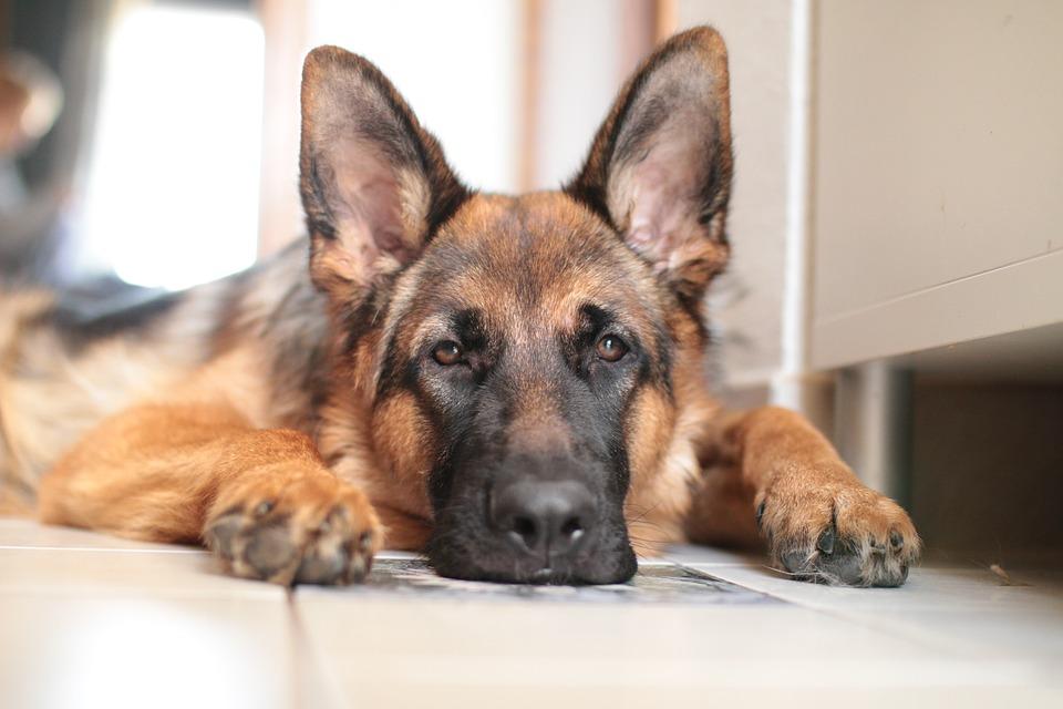 nemački-ovčar-pas