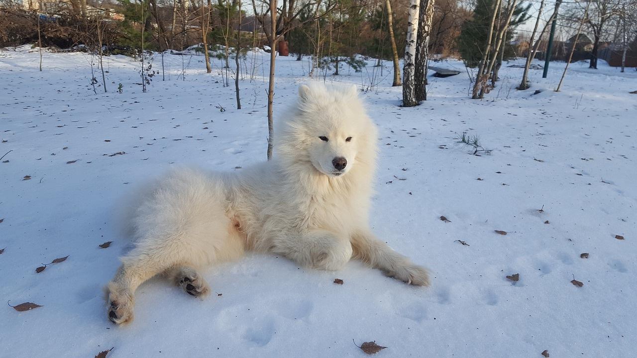 samojed-pas-zima-sneg