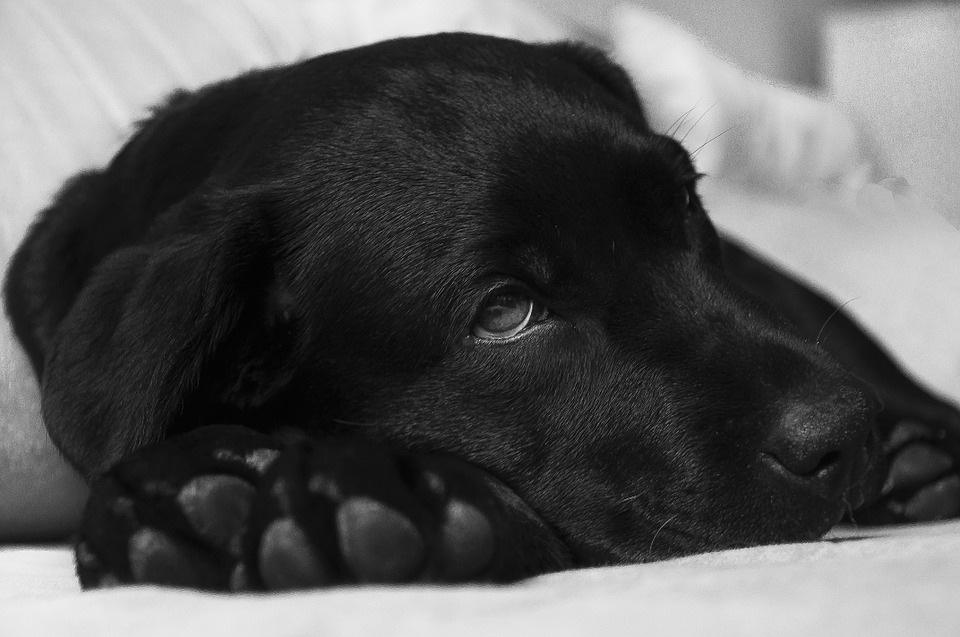 štene-pas-otrov-pančevo-psi