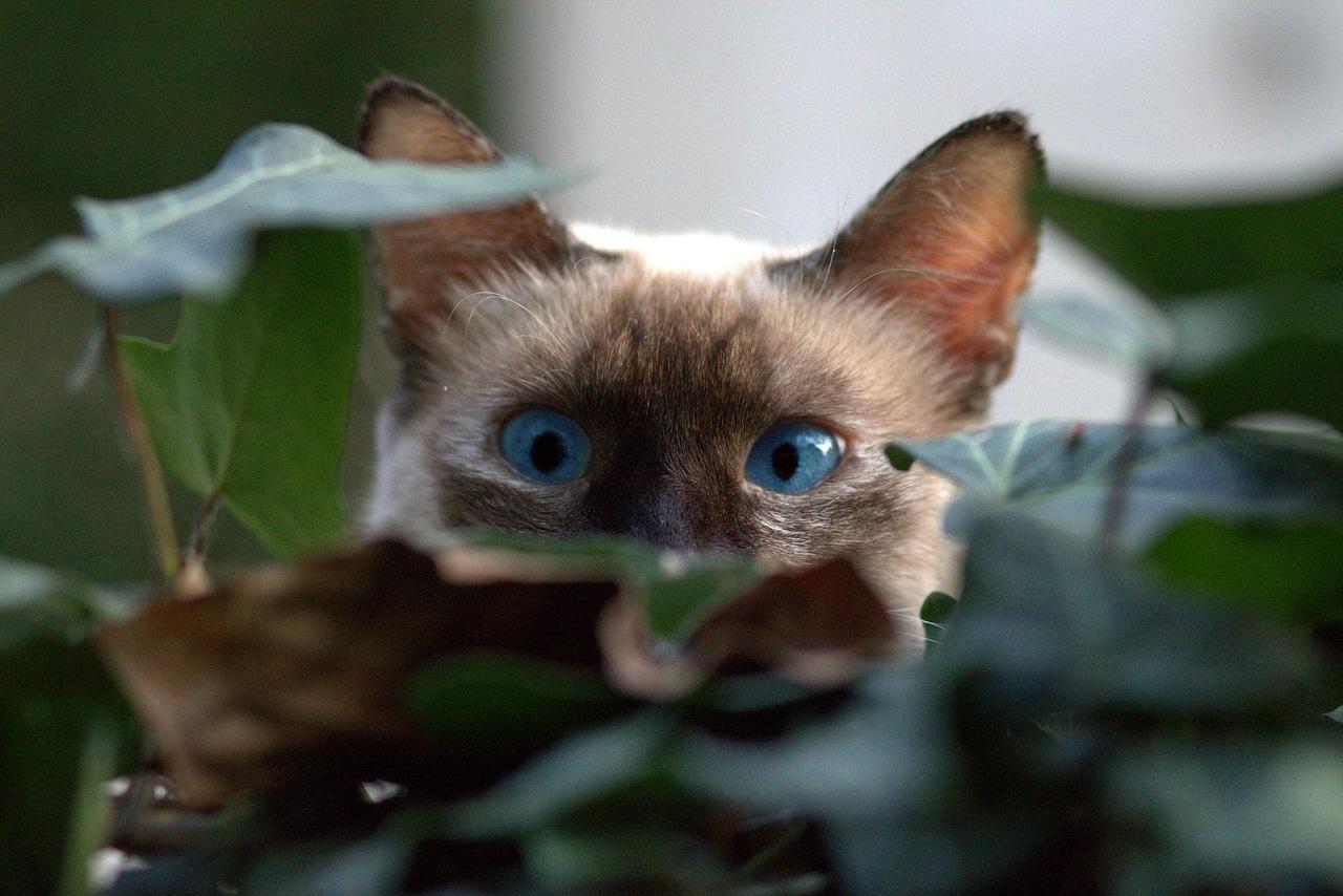 burmanska-mačka