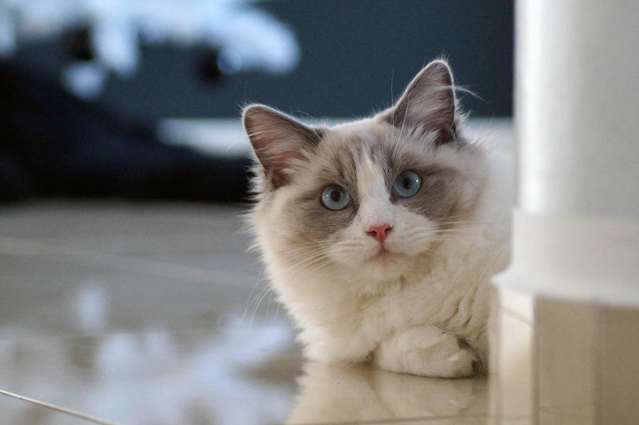 mačka-ragdol-rasa