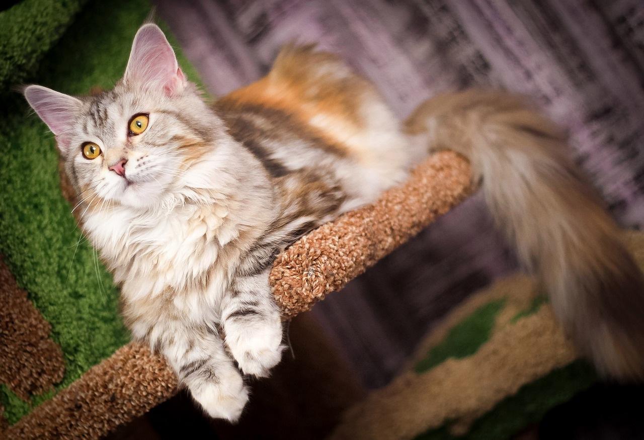 mejn-kun-mačka
