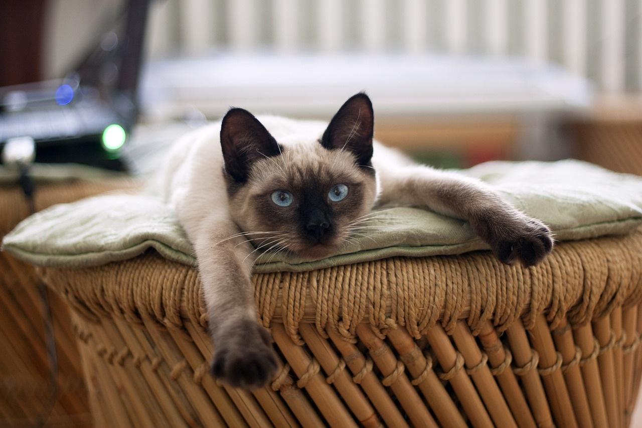 sijamska-mačaka-rasa