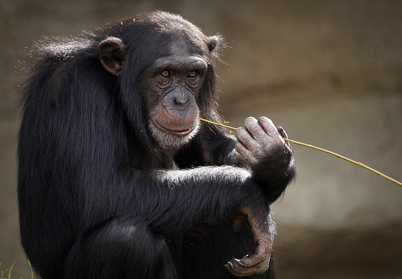 šimpanza-majmun