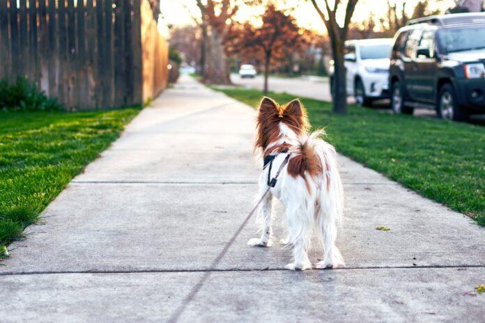 pas-šetnja-povodac