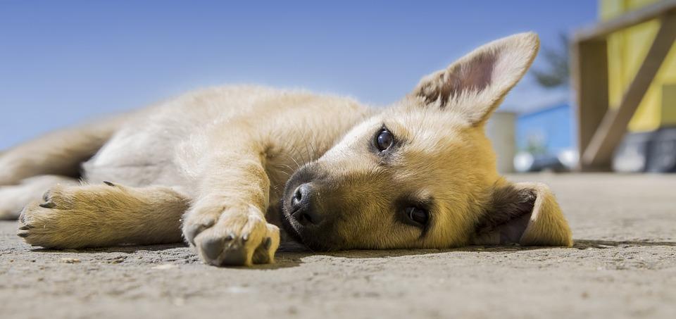 pas-štene-kuče