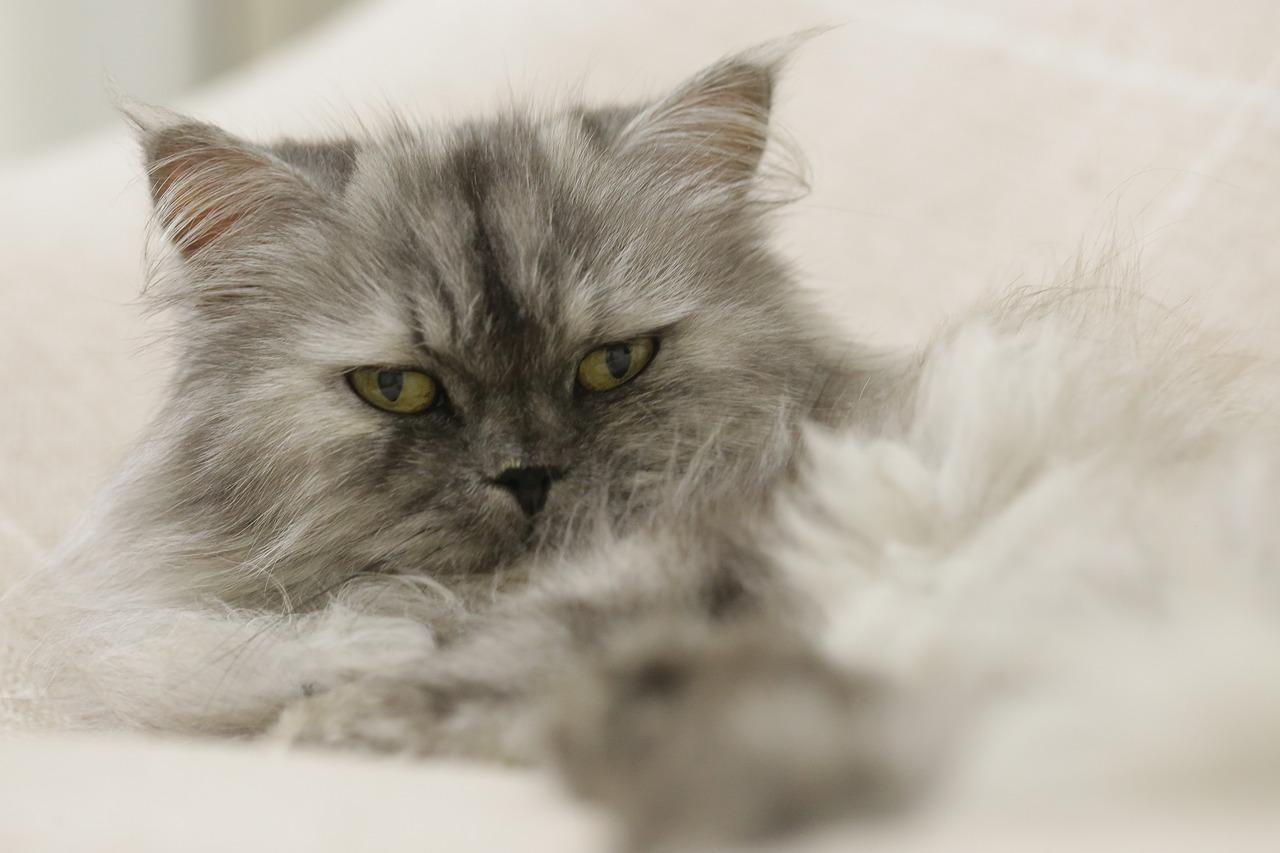 persijska-mačka-rasa