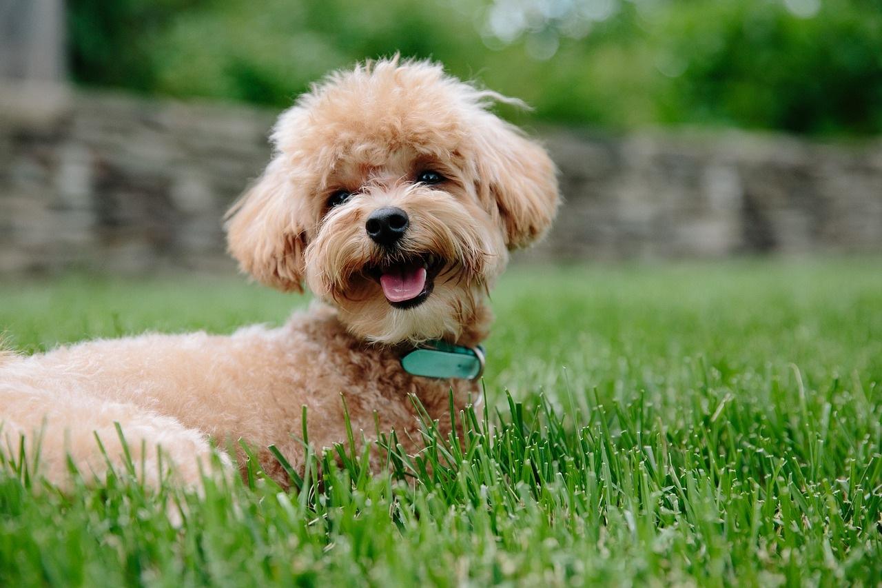 štene-pudla-pas