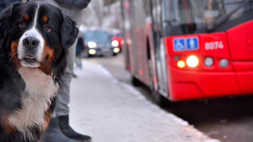 pas-čeka-isti-autobus