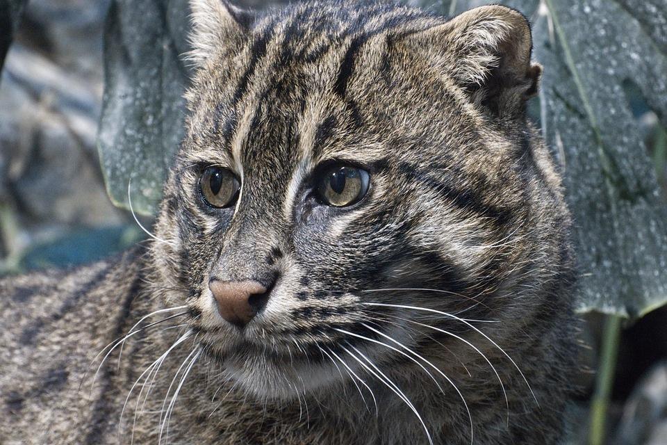 ris-mačka-životinja-životinje