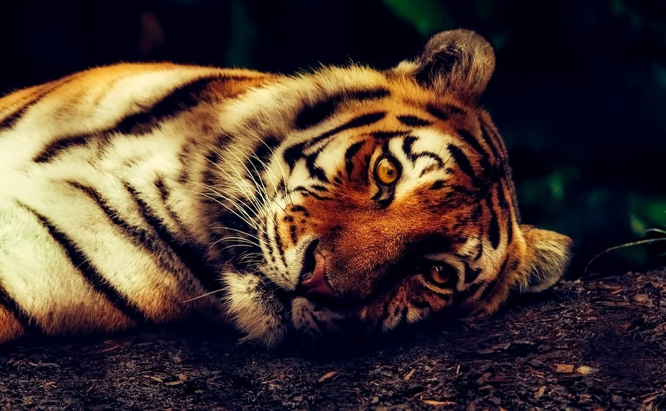 tigar-tigrovi
