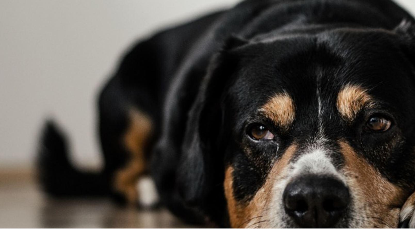 pas-oči-kuče