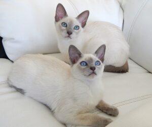 tokinška-mačka