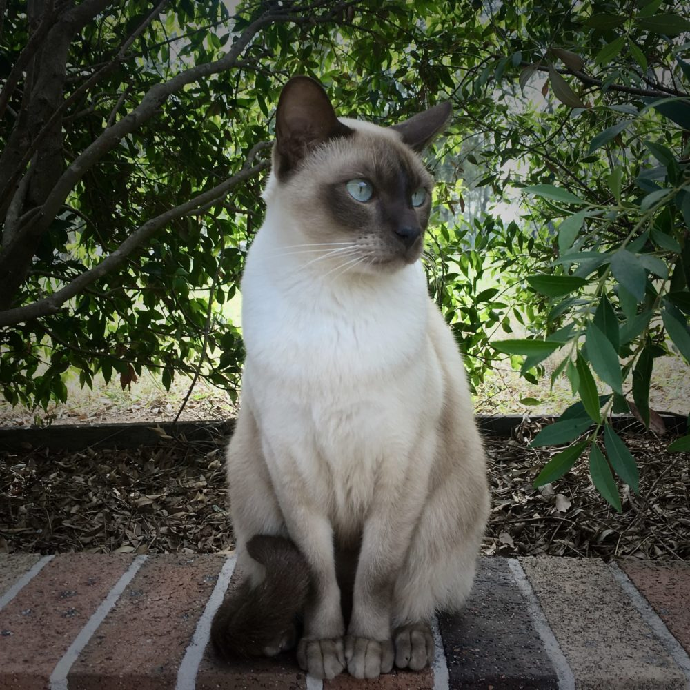 tokinška-mačka-rasa