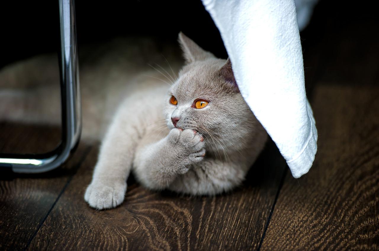 britanska-kratkodlaka-mačka-rasa