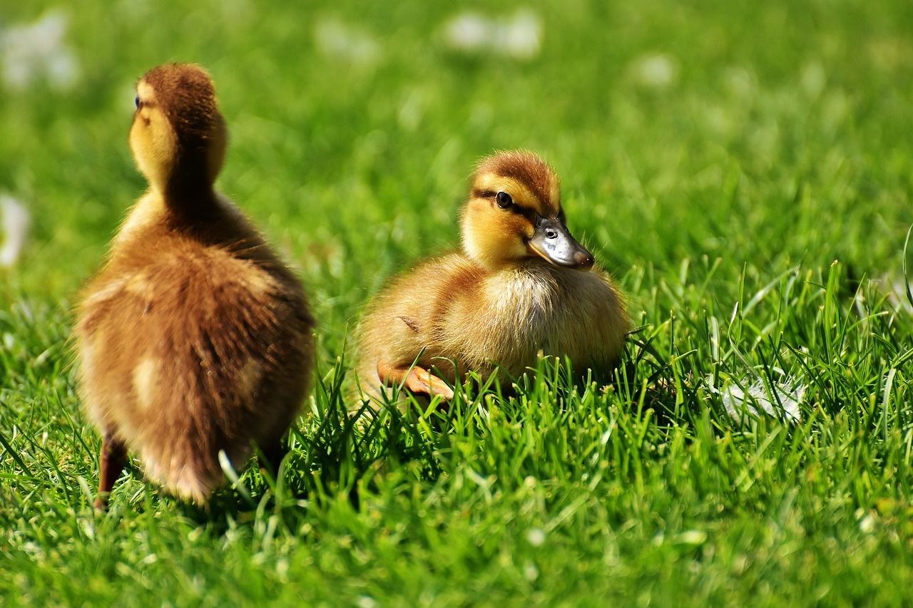 patke-patka