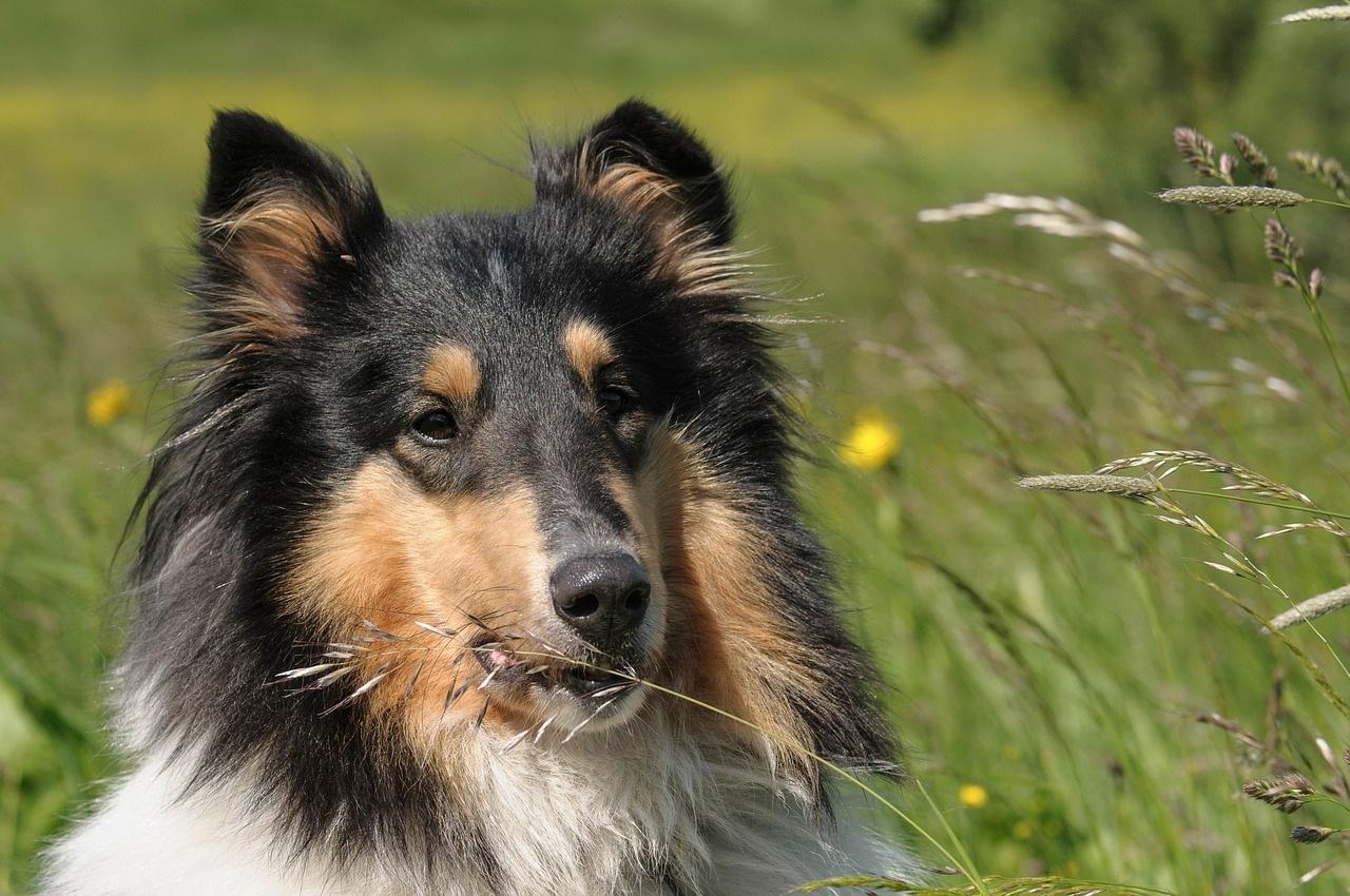 škotski-ovčar-rasa