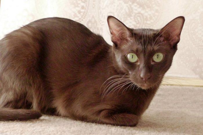 havana-mačka