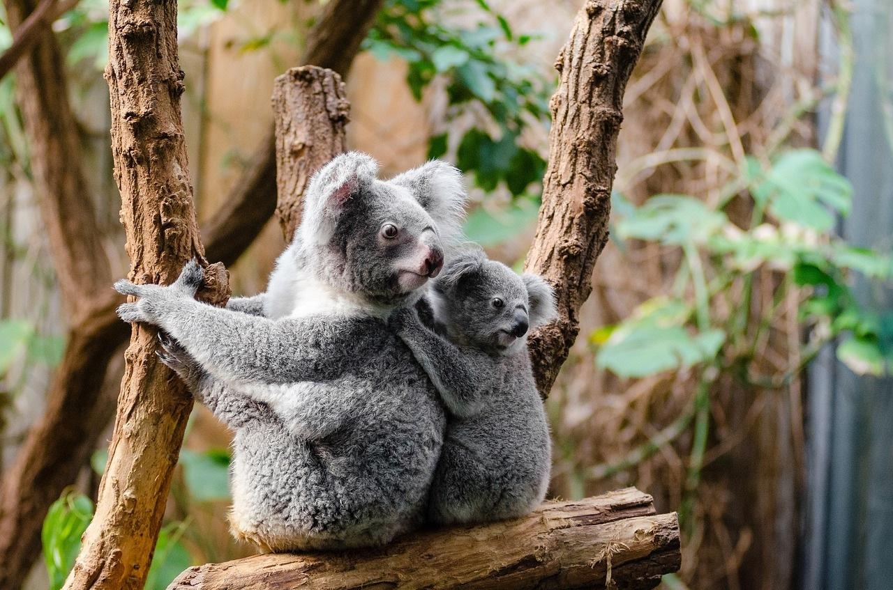 koala-drvo-šuma