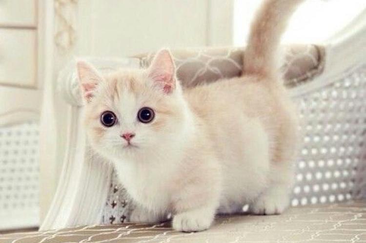 mančkin-mačka