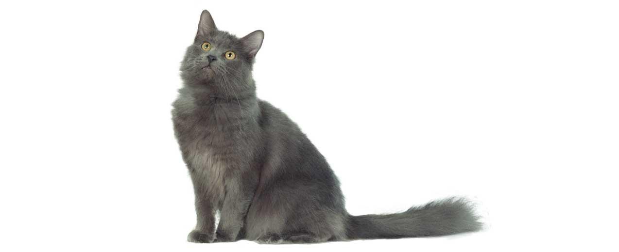 nebelung-rase-mačka