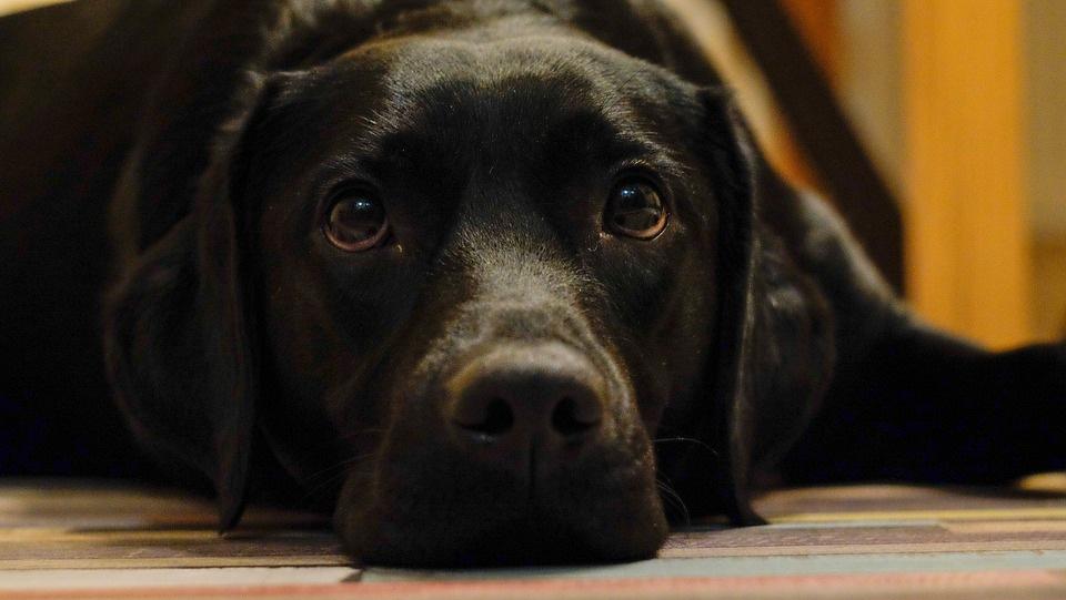 pas-kuče-labrador