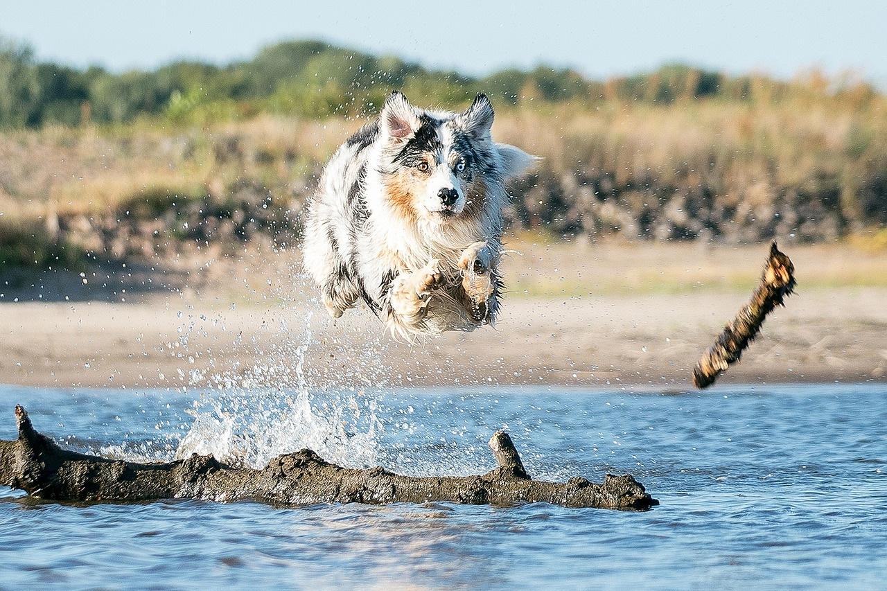 australijski-ovčar-rase-pasa