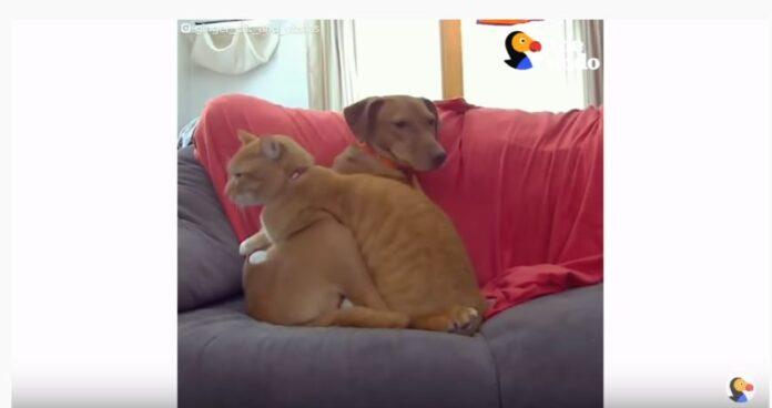 pas-mačka-dodo