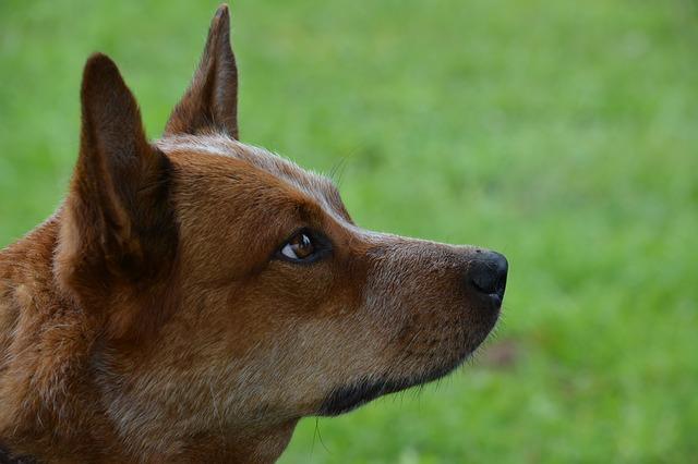 australijski-govedar-rase-pasa